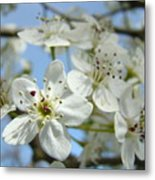 Blossoms Art Prints Whtie Spring Tree Blossoms Blue Sky Baslee Metal Print