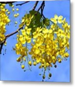Blossoms Of The Golden Chain Tree Metal Print