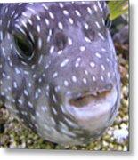 Blow Fish Close-up Metal Print