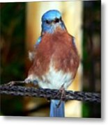 Blue And Brown Tanager Metal Print