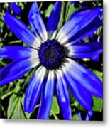 Blue And White African Daisy Metal Print