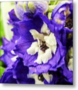 Blue And White Delphiniums Metal Print