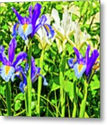Blue And White Iris Metal Print
