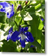 Blue And White Lobelia Metal Print