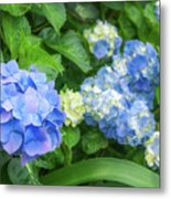 Blue And Yellow Hortensia Flowers Metal Print
