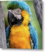 Blue And Yellow Macaw Portrait  Metal Print