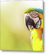 Blue And Yellow Macaw With Copy Space Metal Print