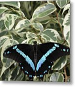 Blue-banded Swallowtail Butterfly Metal Print