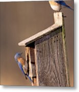 Blue Bird Couple Metal Print