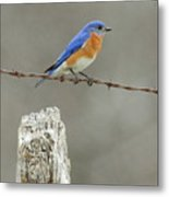 Blue Bird On Barbed Wire Metal Print