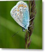Blue Butterfly On Grass Metal Print