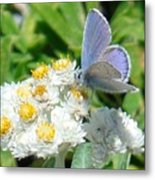 Blue Butterfly On White Flowers Metal Print