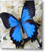 Blue Butterfly On White Roses Metal Print