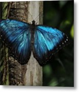 Blue Butterfly Metal Print
