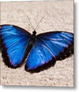 Blue Buttterfly Metal Print