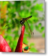 Blue Dasher Damselfly Metal Print