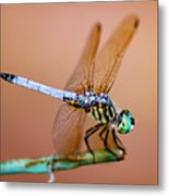 Blue Dasher Dragonfly Metal Print