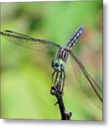 Blue Dasher Dragonfly On A Branch Metal Print