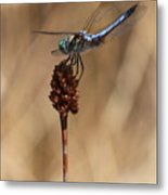 Blue Dragonfly On Brown Reed Metal Print