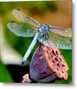 Blue Dragonfly On Lotus Seed Pod Back View Metal Print