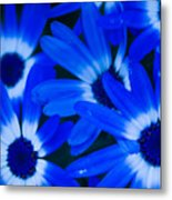 Blue Daisies, Medford Oregon Metal Print