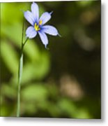 Blue-eyed Grass IIi Metal Print