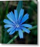 Blue Chicory Flower Metal Print