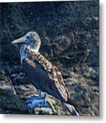 Blue-footed Booby Prize Metal Print