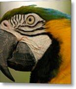 Blue Gold Macaw South America Metal Print