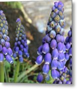 Blue Grape Hyacinths Metal Print