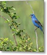 Blue Grosbeak Metal Print