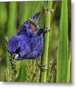 Blue Grosbeak On A Reed Metal Print