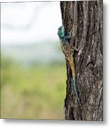 Blue-headed Tree Agama Metal Print