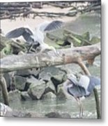 Blue Heron Fight Metal Print