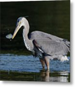 Blue Heron - Fish By The Tail Metal Print