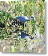 Blue Heron Fishing In A Pond In Bright Daylight Metal Print