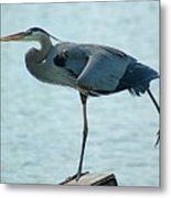 Blue Heron Stretching Metal Print