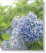 Blue Hydrangea At Rainy Garden In June, Japan Metal Print