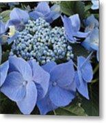Blue Hydrangea Buds Metal Print