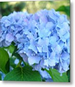 Blue Hydrangea Flowers Art Botanical Nature Garden Prints Metal Print