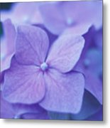 Blue Hydrangeas Metal Print
