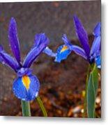 Blue Iris Germanica Metal Print