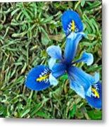 Blue Iris Hermodactyloides Metal Print
