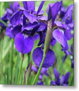 Blue Irises Metal Print