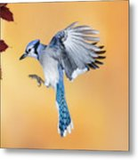 Blue Jay Beauty Metal Print