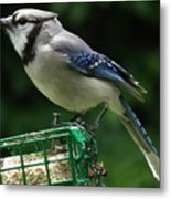 Blue Jay Day Metal Print
