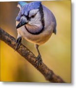 Blue Jay In Golden Light Metal Print