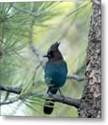 Blue Jay In The Woods Metal Print