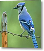 Blue Jay On The Fence Metal Print