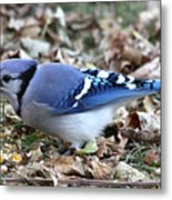 Blue Jay With A Full Mouth Metal Print